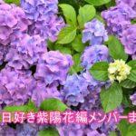今日好き紫陽花(あじさい)編のメンバーまとめ!継続は誰?追加は?1